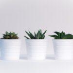 Citroenplant op je balkon of terras